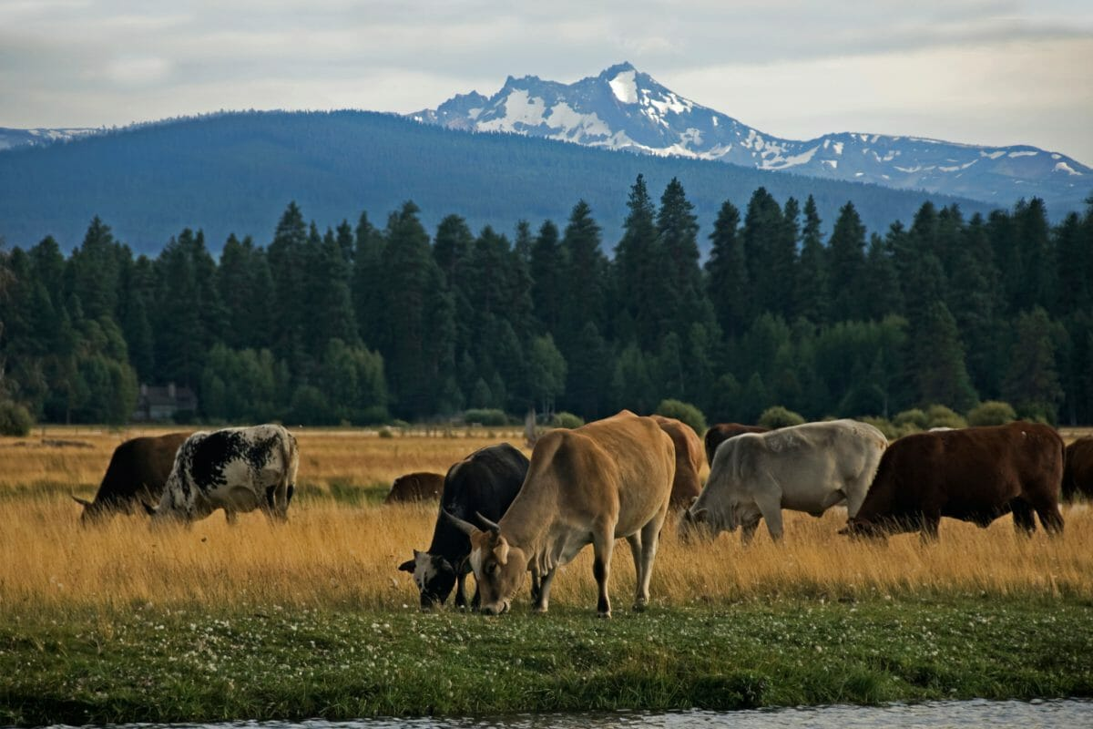 Rodeo cows graze in a lush field at Black Butte Ranch, Oregon, USA