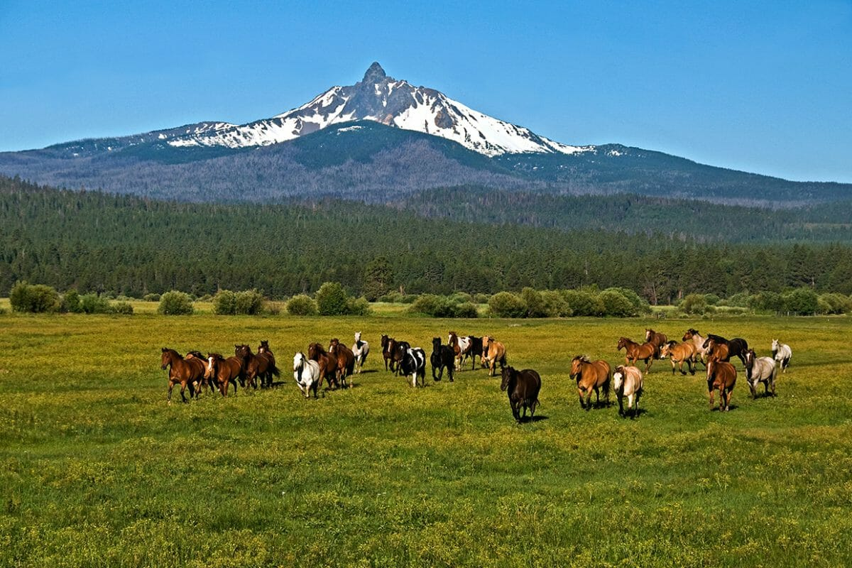 Image of horses running in a field under Mt Washington at Black Butte Ranch, Oregon, USA