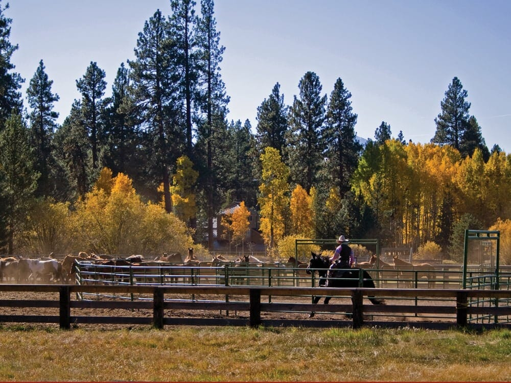 Image depicting cattle and a cowboy at the Black Butte Ranch, Oregon, USA