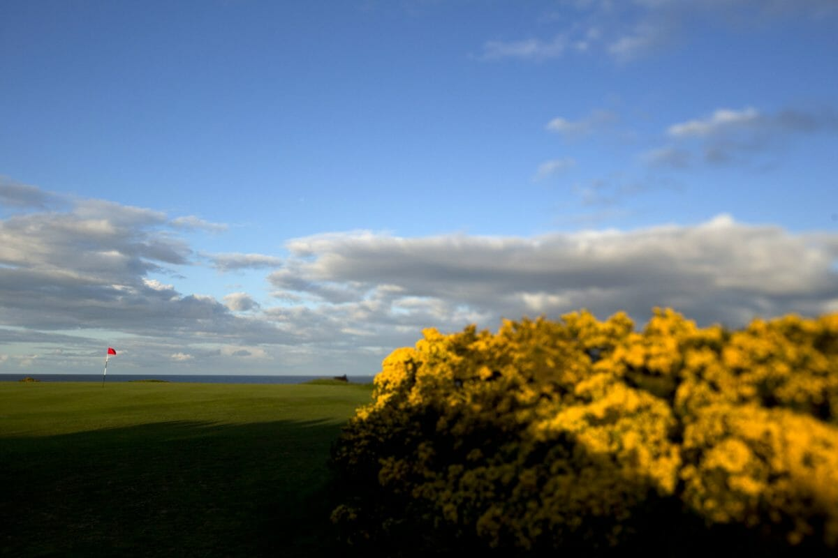 Image of a gorse bush situated on the golf course hole 16 at Royal Dornoch Golf Club, Scotland