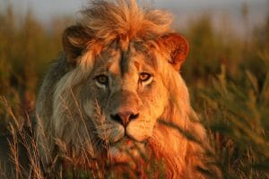 Male lion stares at camera at Gondwana Game Reserve